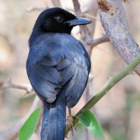 Slate-coloured Boubou - Ruaha National Park, Tanzania