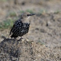 Starling Oare Marshes Kent