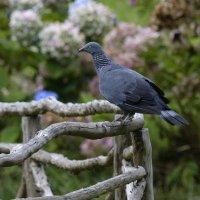Trocaz Pigeon - Madeira (1/2)