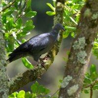 Trocaz Pigeon - Madeira (2/2)