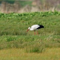 white stork tealham moor somerset uk 07 04 2016 (3)