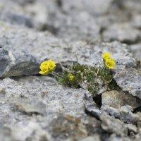 Golden Whitlow Grass - Blomstrandhalvoya