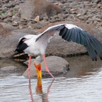 Yellow-billed Stork - Ruaha National Park, Tanzania