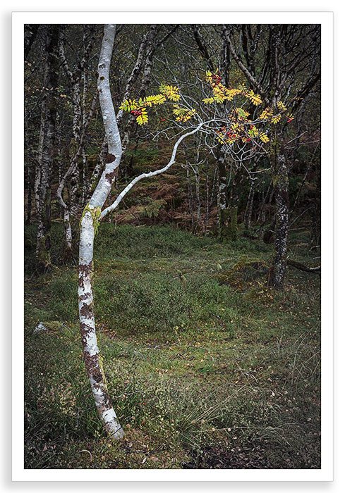 Birch Line