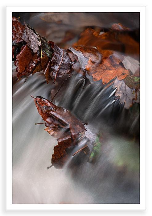 Oak Leaf Cluster
