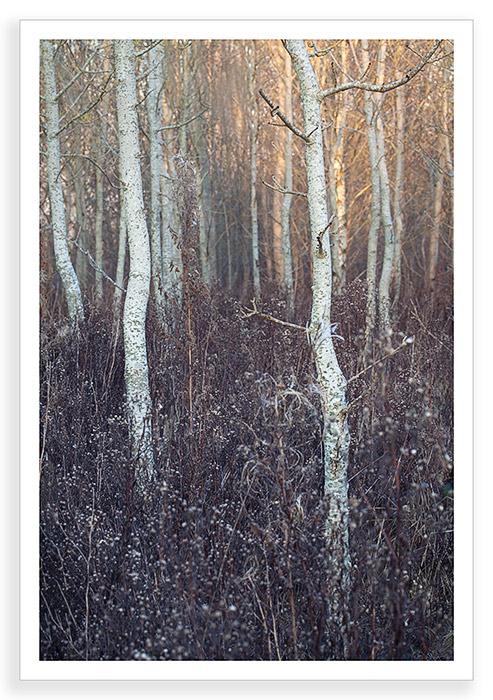 Radley Poplars