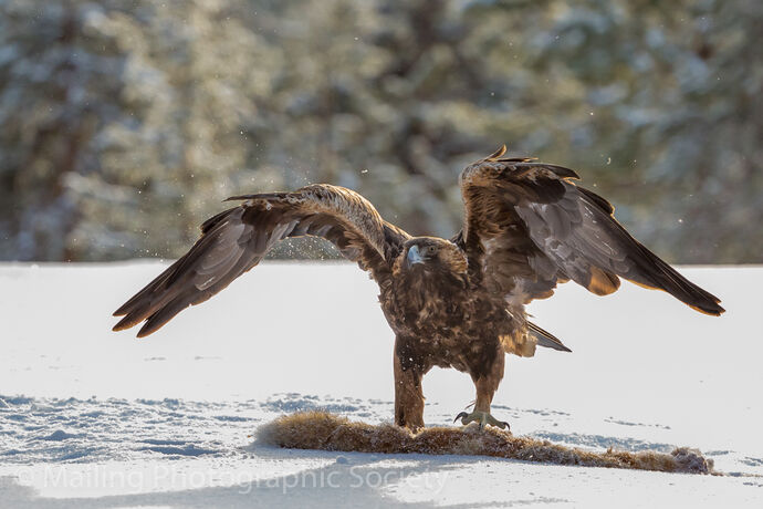 1 GOLDEN EAGLE by Paul Davison