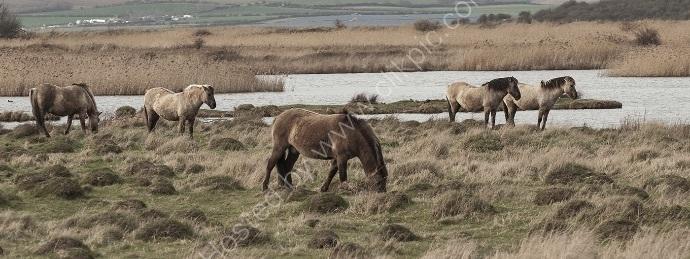 Konik Horses of Oare Marshers