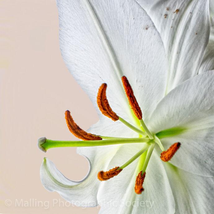 1 Lily by Jennifer Lane