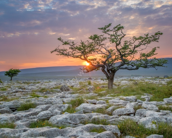 Tree on Limestone Pavement