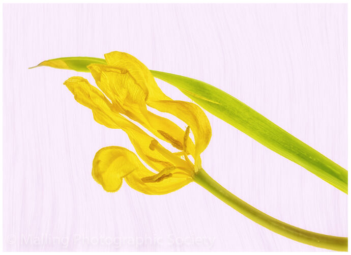 1 YELLOW TULIP by Jennifer Lane