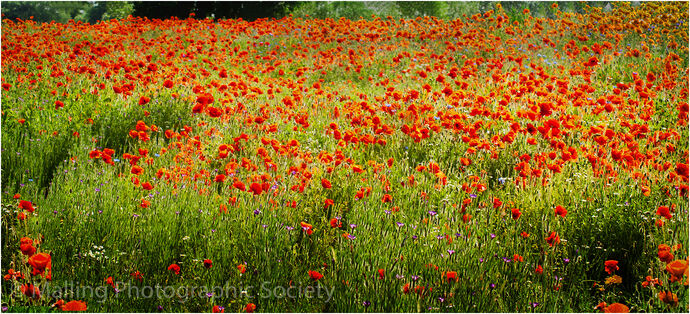 2 BANK OF POPPIES by Mark Woodger