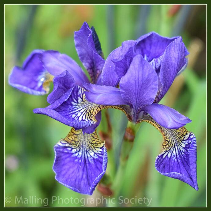 2 Blue Iris by Jennifer Lane