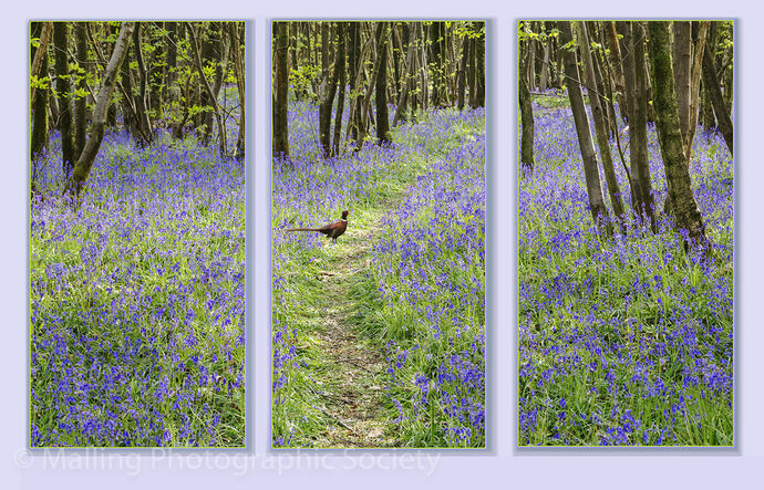 2 Bluebell Time by Patricia Begley
