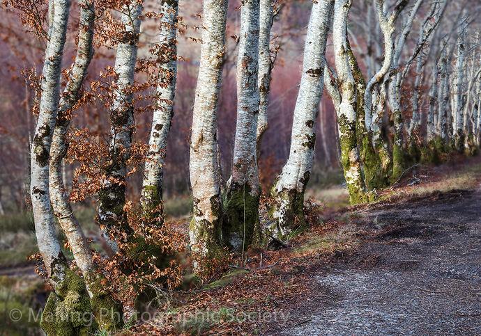 2 Silver Birches by Patricia Begley