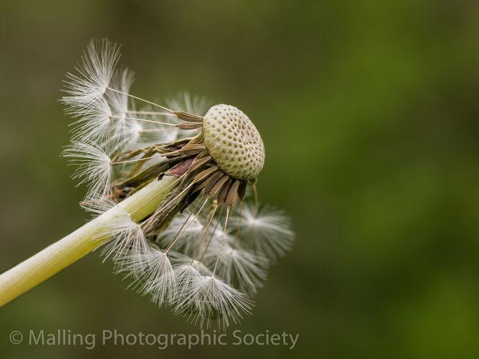 3 Dandelion By Karen Jones