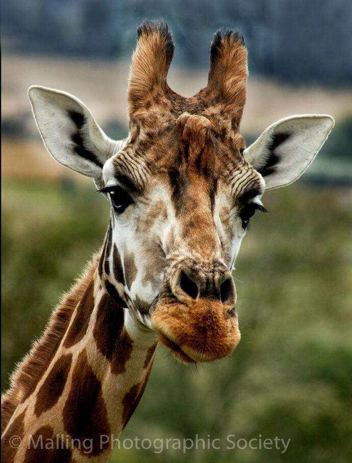 3 Giraffe by Karen Jones
