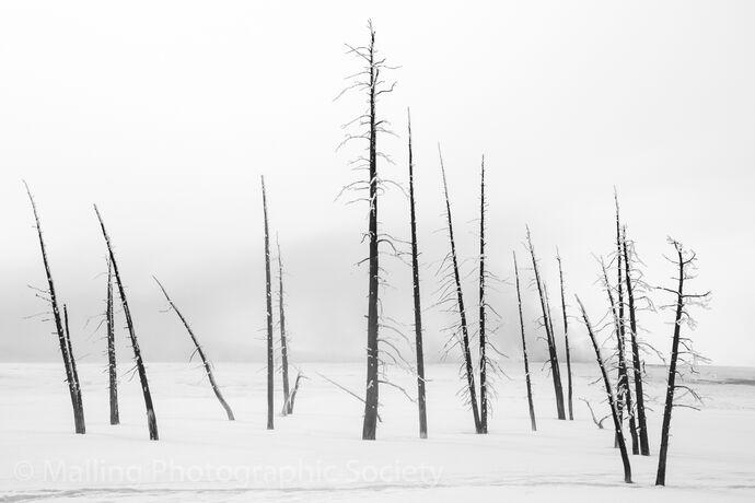 3 Lodge Pole Pines by Paul Davison