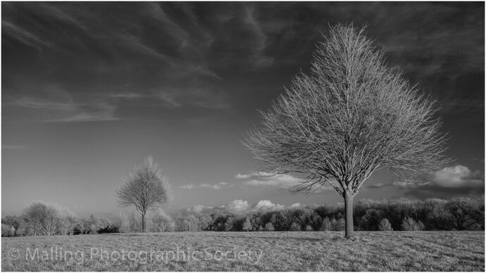 3 TREES AT COBHAM by Alan Smith