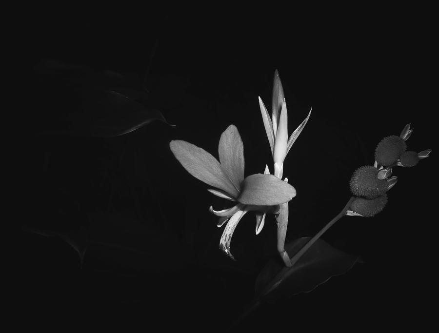 Orchide aruse