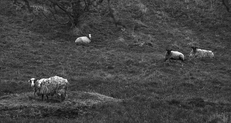 Sheep  Molnes Vigra