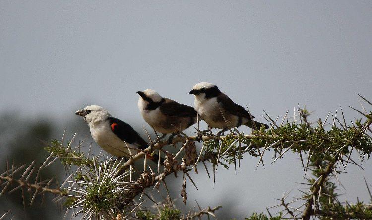 3 little birds on thorn bush
