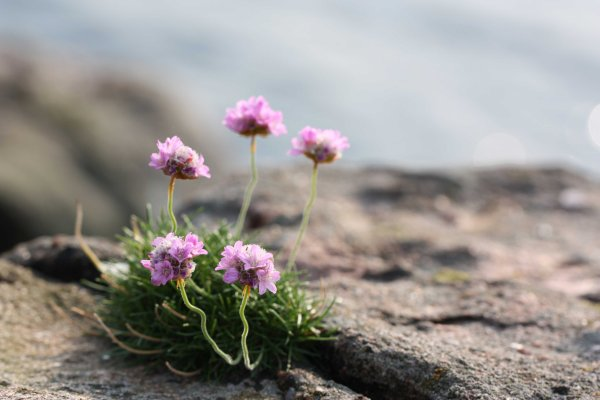 Delicate Stems of Sea Thrift
