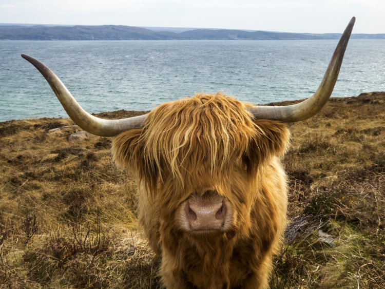 How now Highland Cow