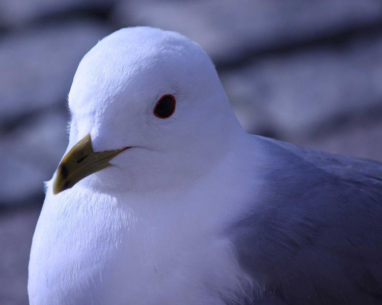 Ring Beaked Gull