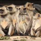 monkeys india