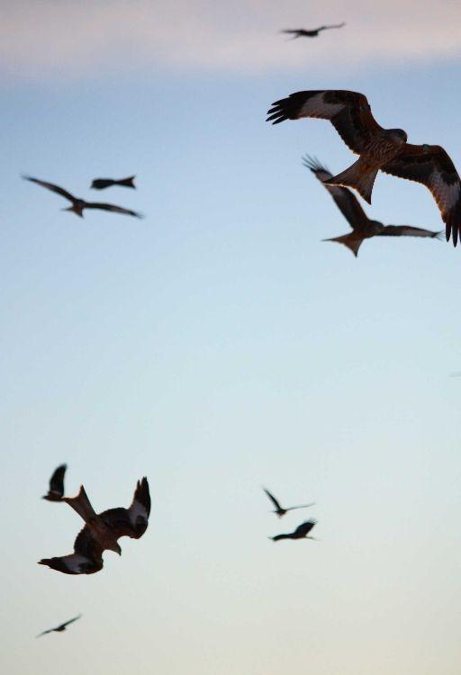 red kite flocking