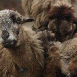 sheep india