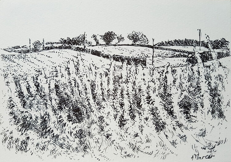 Rosebay Willowherb. Contemporary Scottish landscape drawing. Pen and ink on cartridge paper by Marcer Campbell