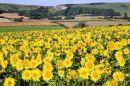 Sunflowers at Alciston
