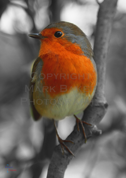 The Robin, colour pop.