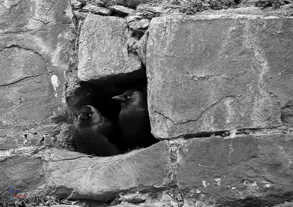 The Jackdaws.