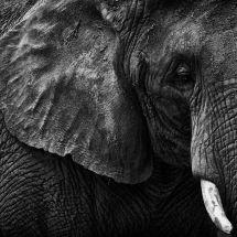 Elephants Ear, Eye And Tusk