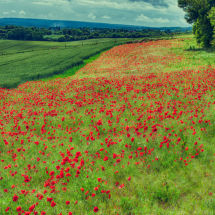 Poppy Field HDR