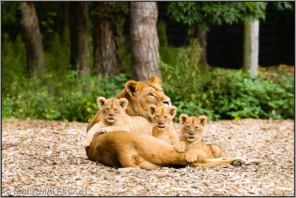 Lioness with cubs (Panthera leo)