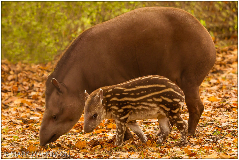 Brazilian Tapirs (Tapirus terrestris)