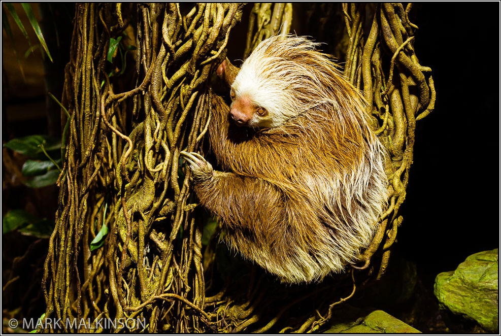 Hoffmann's two-toed sloth (Choloepus hoffmanni)