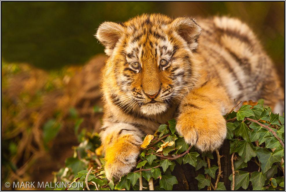 Amur Tiger Cub (Panthera tigris altaica)