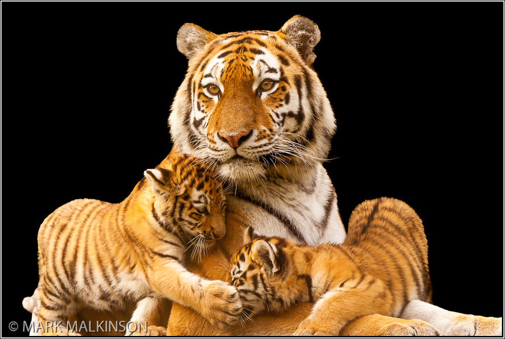 Amur Tiger with Cubs (Panthera tigris altaica)