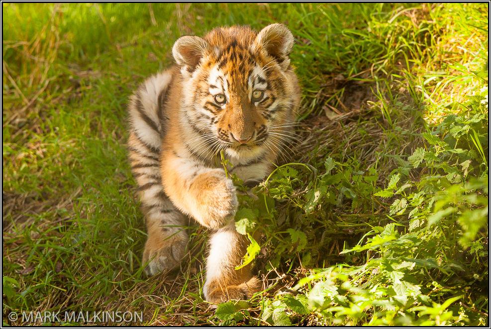 Amur Tiger Cub (Panther tigirs altaica)