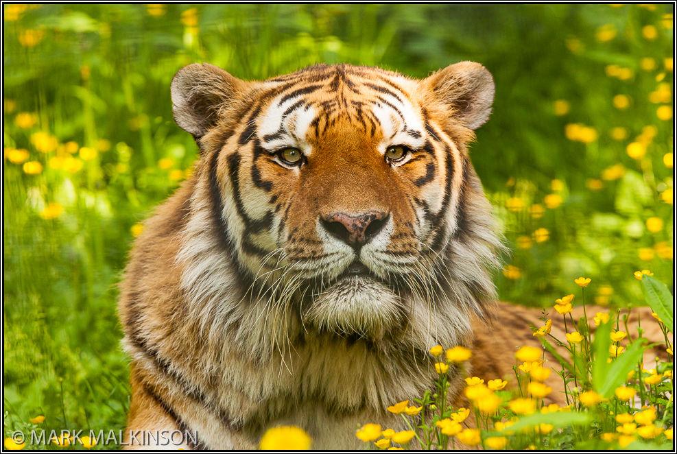 Amur Tiger (Panther tigirs altaica)