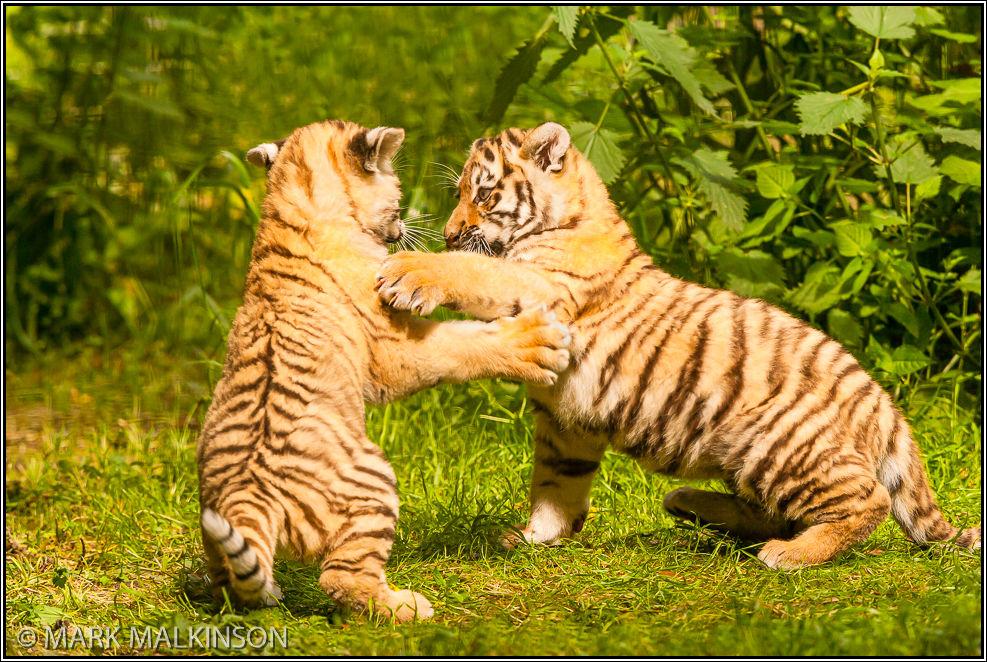 Amur Tiger Cubs (Panthera tigris altaica)
