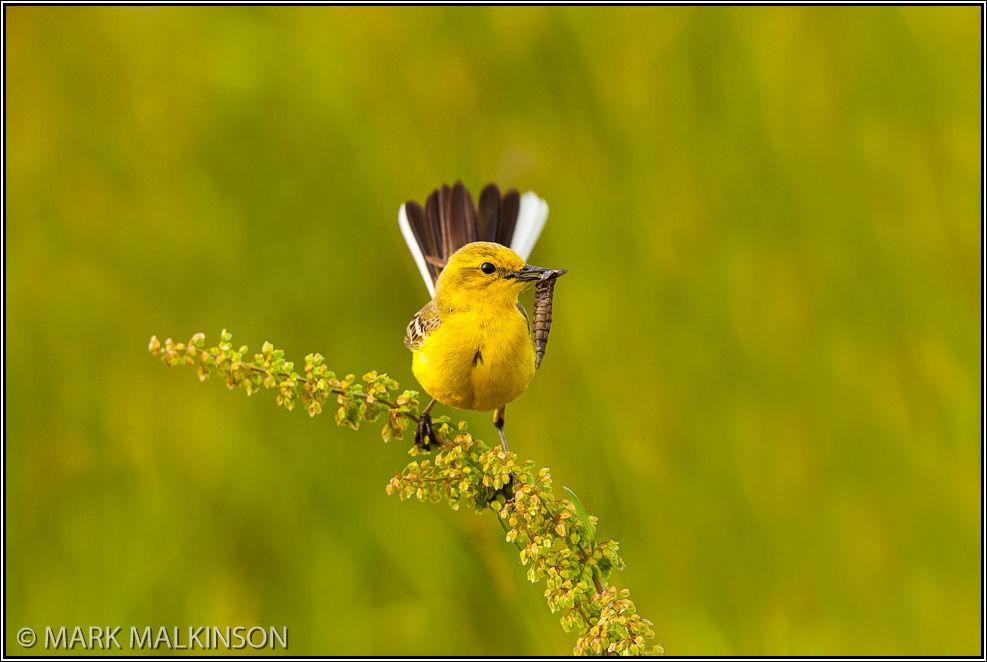 Yellow Wagtail - (Motacilla flava)