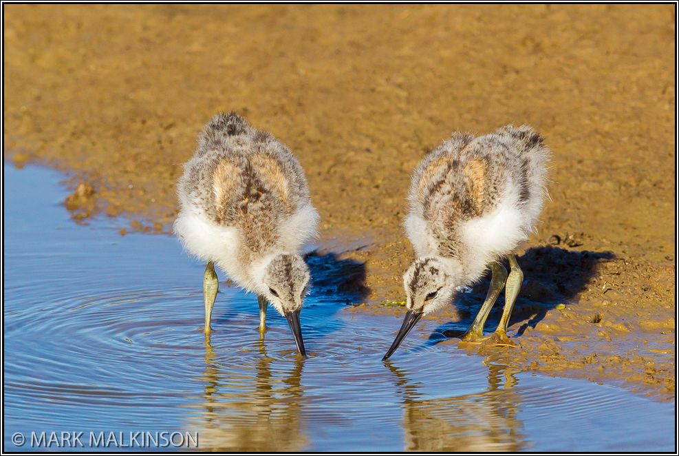 Avocet Chicks (Recurvirostra avosetta)