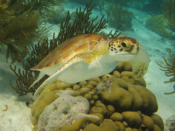 A green turtle is seen in the clear waters off the coast of Bonaire