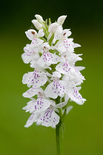Spotted Orchid.